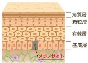 4分割の肌の階層とメラノサイト